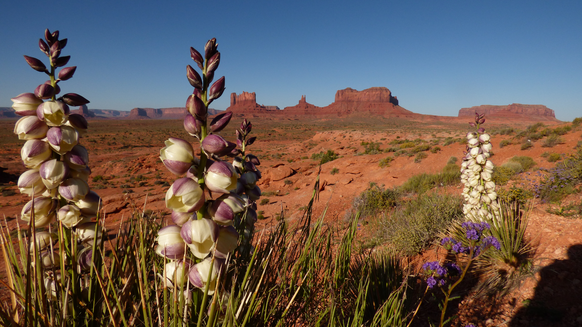 A cluster of blooming yucca plants in a red desert.